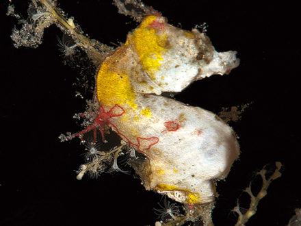 Hippocampus pontohi