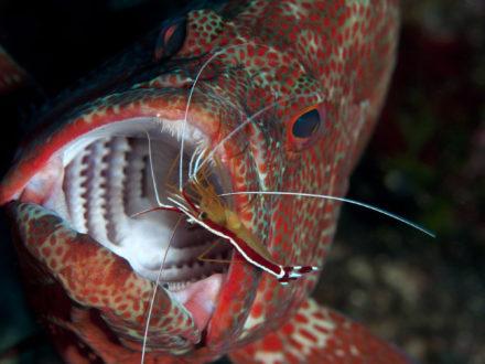 Cephalopholis sonnerati foto boyer
